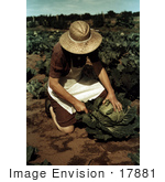 #17881 Photo Of A Female Farmer Cutting A Head Of Cabbage In A Crop