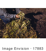 #17883 Photo Of A Man Harvesting Pinto Beans