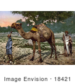 #18421 Photo Of Men With A Camel Plain Of Esdraelon Holy Land Plain Of Jezreel Israel