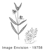#19758 Photo Of Water Willow Plants
