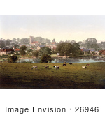 #26946 Stock Photography Of Cows Grazing By A Pond In Carisbrooke Newport Isle Of Wight England
