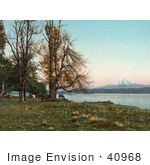 #40968 Stock Photo Of Cattle Grazing On The Banks Of The Columbia River With Mt Hood In The Distance