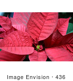 #436 Photograph Of A Red Poinsettia Plant