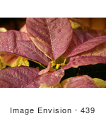 #439 Photo Of A White Poinsettia Plant Painted Purple