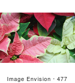 #477 Image Of Pink White And Red Poinsettia Plants