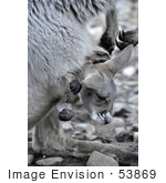 #53869 Royalty-Free Stock Photo Of A Joey