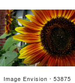 #53875 Royalty-Free Stock Photo Of A Red Sunflower