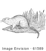 #61589 Clipart Of A Muskrat On A Shore In Black And White - Royalty Free Vector Illustration