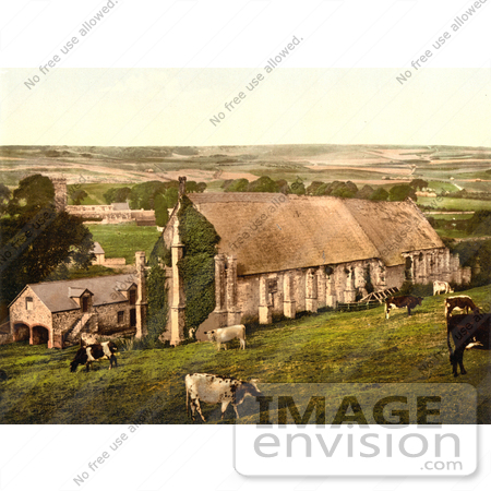 #17789 Photo of Cows Grazing Near the Abbey Barn in Abbotsbury, England by JVPD