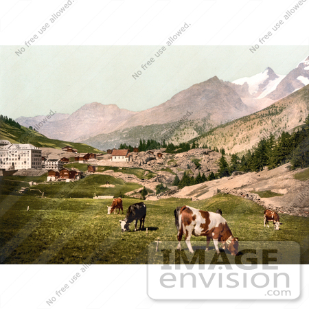 #18014 Picture of Cattle Grazing at the Village of Saas Fee in the Swiss Alps, Valais, Switzerland by JVPD