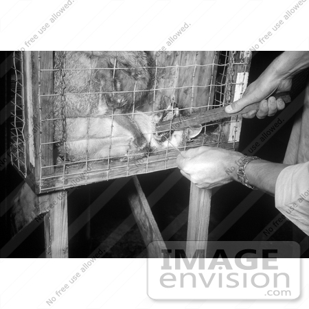 #21592 Stock Photography of a Rabid Fox Biting a Stick in a Cage in 1958 by JVPD