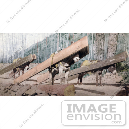 #40882 Stock Photo Of Three Donkeys Hauling Lumber At A Logging Site, Colorado by JVPD
