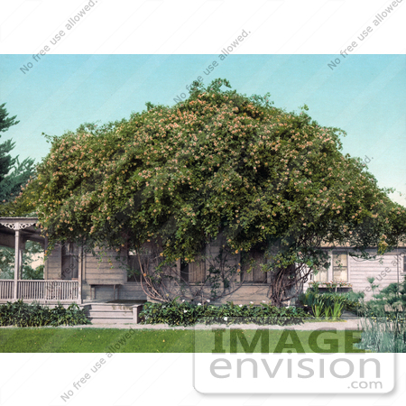 #41086 Stock Photo Of Gold Of Ophir Roses Growing Over A Home In Pasadena, California by JVPD