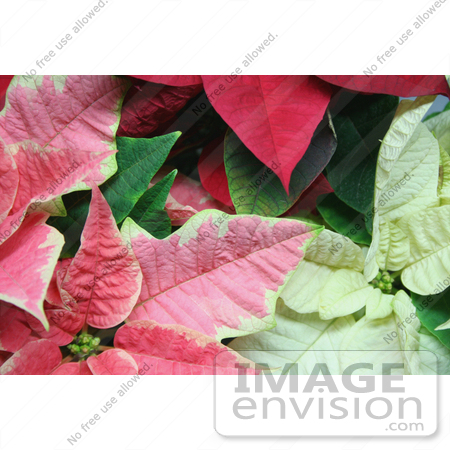 #477 Image of Pink, White and Red Poinsettia Plants by Jamie Voetsch