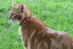 Orange Cat Standing on Grass