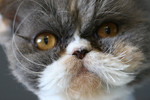 Closeup of a Persian Cats Face