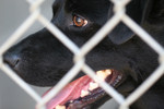 Closeup of Black Dog Behind Chain-link Fence