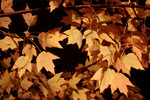 Autumn Colored Maple Tree Leaves