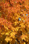 Deciduous Tree with Fall Colors