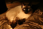Siamese Cat Laying Under Lamp Lighting