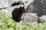Brownish Black Cat Sitting on Boulders Along the Ocean