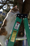 Cat Climbing to the Top of a Ladder