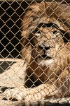 Caged Lion