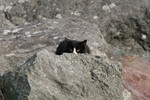 Black & White Cat Hiding Behind a Rock