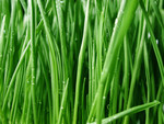 Wet Wheatgrass