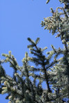 Blue Spruce Branches Against a Blue Sky