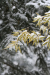 Bamboo and Blue Spruce in Snow