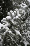 Blue Spruce in Snow