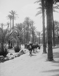Camel Caravan in a Palm Grove, Memphis, Egypt