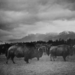 Bison in Butte, Montana