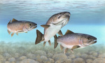 Picture of Atlantic Salmon (Salmo salar)