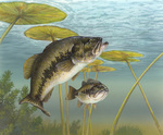 Picture of Black Bass, Green Trout, Bigmouth Bass, Lineside Bass, Largemouth Bass (Micropterus salmoides)