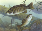 Picture of Smallmouth Bass (Micropterus dolomieu)