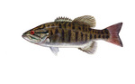 Clipart Image Illustration of a Smallmouth Bass Fish (Micropterus dolomieu)