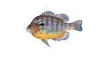 Clipart Image Illustration of a Longear Sunfish (Lepomis megalotis)