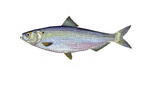 Clipart Image Illustration of a Blueback Herring Fish (Alosa aestivalis)