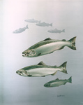 Clipart Image Illustration of King Salmon Fish Swimming in Blue Waters