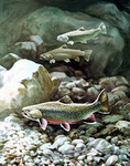 Clipart Image Illustration of Brook Trout Fish Swimming on a Rocky Bottom
