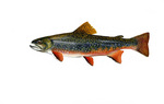 Clipart Image Illustration of Brook Trout Fish (Salvelinus fontinalis)