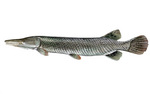 Clipart Image Illustration of an Alligator Gar Fish (Atractosteus spathula)