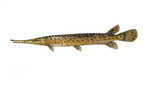 Clipart Image Illustration of a Spotted Gar fish (Lepisosteus oculatus)