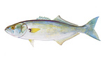 Clipart Image Illustration of a Bluefish (Pomatomous saltator)