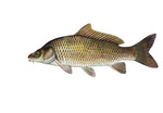 Clipart Image Illustration of a Common Carp or European Carp Fish (Cyprinus carpio)
