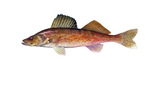 Clipart Image Illustration of a Walleye Fish (Stizostedion canadense)
