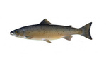Clipart Image Illustration of an Atlantic Salmon (Salmo salar)