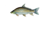 Clipart Image Illustration of a Smallmouth Buffalo Fish (Ictiobus bubalus)